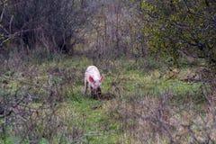 Mangulitsa pig and her pigs Stock Photography