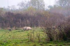 Mangulitsa pig and her pigs Stock Photos