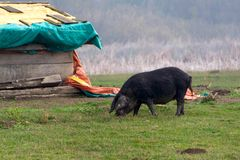 Mangulitsa pig and her pigs Stock Images