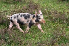 Mangulitsa pig and her pigs Royalty Free Stock Images
