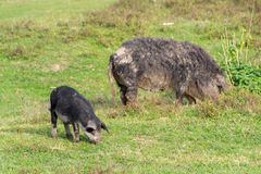 Mangulitsa pig and her pigs Royalty Free Stock Photos