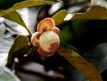 Mangustão novo na árvore Imagem de Stock Royalty Free