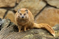 Mangusta fox Royalty Free Stock Image
