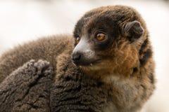 Mangusta lemur & x28; Eulemur mongoz& x29; pokazywać kły Zdjęcia Stock