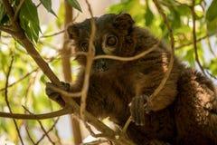 Mangusta lemur patrzeje kamery zakończenie up Zdjęcie Royalty Free