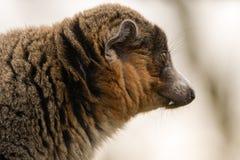 Mangusta lemur & x28; Eulemur mongoz& x29; pokazywać kły Obraz Stock
