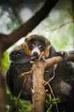 Mangusta lemury Zdjęcia Royalty Free
