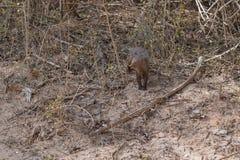 Mangusta V Yala nationalpark Arkivbild