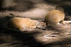 mangusty dosypianie Obrazy Royalty Free