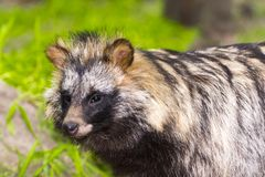 Raccoon dog or mangut. Mangut or raccoon dog Nyctereutes procyonoides the Asian invader royalty free stock images