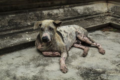 Mangy dog lying on the cement floor. Stock Images