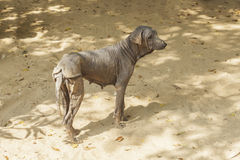 The mangy dogs and hairless,Thailand