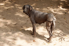 The mangy dogs and hairless in Thailand.
