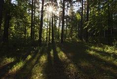 Manhã bonita na floresta Imagens de Stock Royalty Free