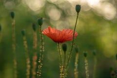 Manhã comum do verão da papoila das flores fotos de stock royalty free