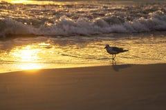 Manhã da baía da gaivota Imagens de Stock Royalty Free