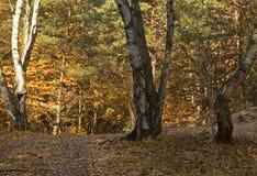A manhã de outubro no forestHorizontal Fotografia de Stock