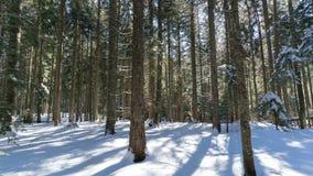 Manhã do inverno em uma floresta spruce filme