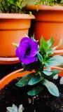 Manhã do jardim da mamã da flor Imagens de Stock Royalty Free