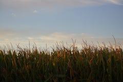 Manhã do milho Foto de Stock Royalty Free