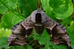 Manhã do ocellatus do smerinthus da borboleta à sombra da vegetação verde Imagem de Stock
