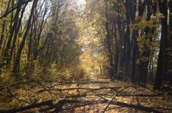 Manhã em um bosque dourado imagens de stock