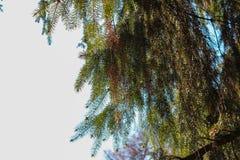Manhã em uma floresta spruce Imagens de Stock