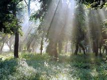 A manhã ensolarada bonita no silêncio dissolve a floresta da mola Fotos de Stock Royalty Free