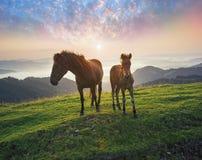 A manhã ensolarada e os cavalos livres pastam na parte superior entre panoramas Carpathian selvagens de Ucrânia todo o verão e ou foto de stock