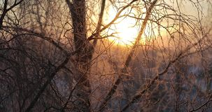 Manhã ensolarada gelado adiantada do ramo do vidoeiro video estoque