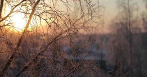 Manhã ensolarada gelado adiantada do ramo do vidoeiro filme