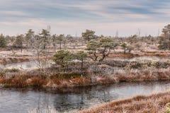 Manhã gelado no pântano aumentado Ajardine com as plantas congeladas e o parque nacional de Kemeri da hoar-geada em Letónia Fotos de Stock Royalty Free