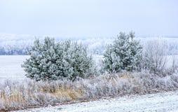 Manhã gelado Pinhos pequenos na neve no fundo da floresta Fotografia de Stock
