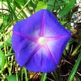 Manhã Glory Flower Fotos de Stock Royalty Free