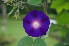 Manhã Glory Flower fotografia de stock