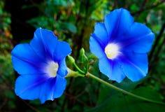 Manhã Glory Flower Pair Foto de Stock Royalty Free