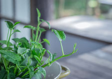 Manhã Glory Green Healthy, natural Foto de Stock