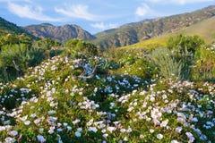 Manhã Glorys de Califórnia Foto de Stock Royalty Free