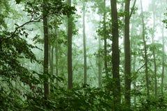 Manhã místico de Forest Misty no forest_ denso fotografia de stock