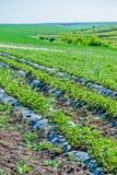 Manhã na exploração agrícola bonita da morango Fotos de Stock Royalty Free