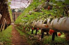 Manhã na exploração agrícola bonita da morango Imagens de Stock Royalty Free