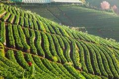 Manhã na exploração agrícola bonita da morango Fotografia de Stock Royalty Free