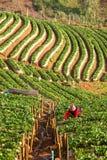 Manhã na exploração agrícola bonita da morango Imagem de Stock