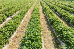 Manhã na exploração agrícola bonita da morango Imagem de Stock Royalty Free