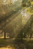 Manhã na floresta Imagem de Stock
