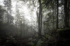 Manhã na floresta enevoada Fotografia de Stock