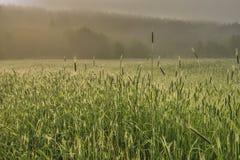 Manhã nevoenta em um campo de trigo fotografia de stock