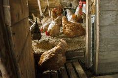 Manhã no galinheiro imagens de stock