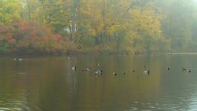 Manhã outonal enevoada em um lago com patos e pássaros de água vídeos de arquivo