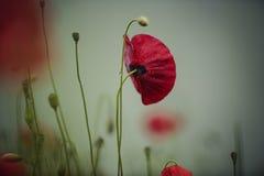 Manhã Poppy Flower fotos de stock royalty free
